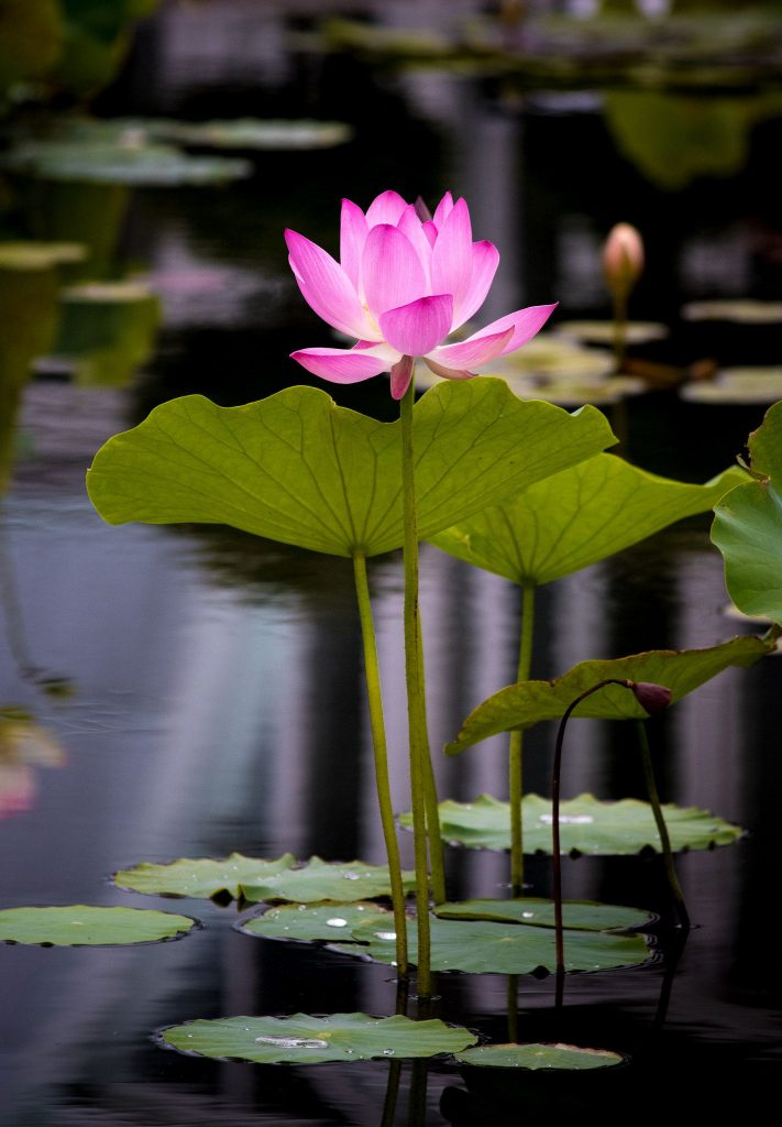 rare-flowers-of-india-INDIAN-LOTUS-utkal-today