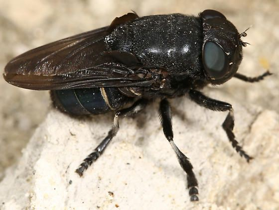 Bot-Fly-Deadliest-Insects-Utkal-Today