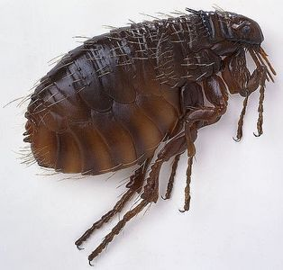 Fleas-Deadliest-Insects-Utkal-Today
