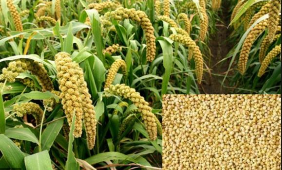 Millet-Crops-In-Odisha-Utkal-Today