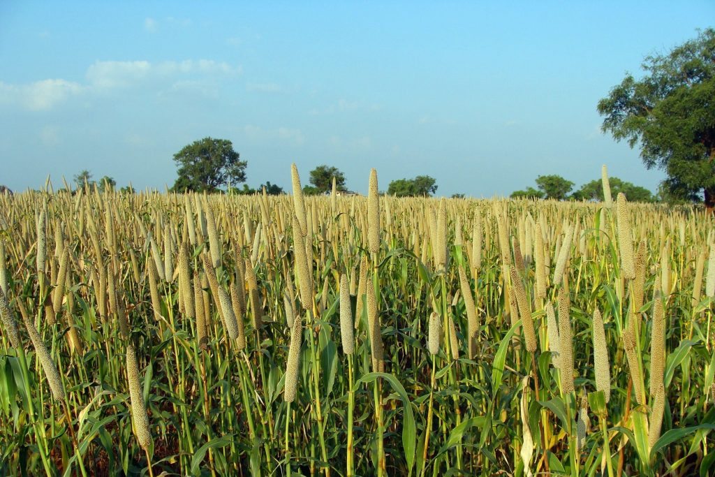 Millet-Crops-In-Odisha-Cultivation-Utkal-Today